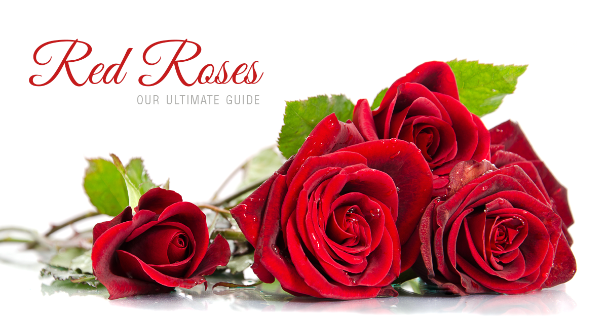 A Guide To Red Roses